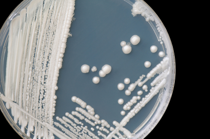 Fungus and Cancer - Fungal colony of Candida albicans